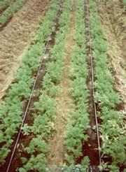 Капельное орошение, если его прибавить к дождевому поливу, делает прибавку урожая примерно на 50-80...