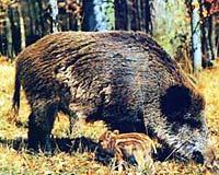 Дикие кабаны относятся к семейству свиней.