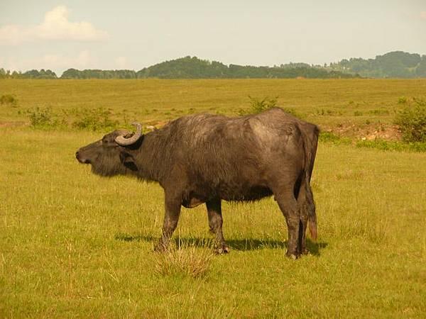 За порятунок закарпатських буйволів