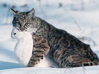 Виды диких кошек