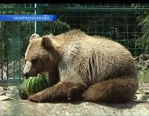 Три ведмеді з реабілітаційного центру на Закарпатті готові до самостійного життя (ВІДЕО)