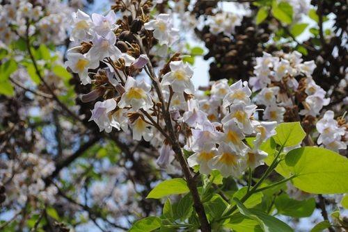 Квітуюча павловнія в центрі ужгорода