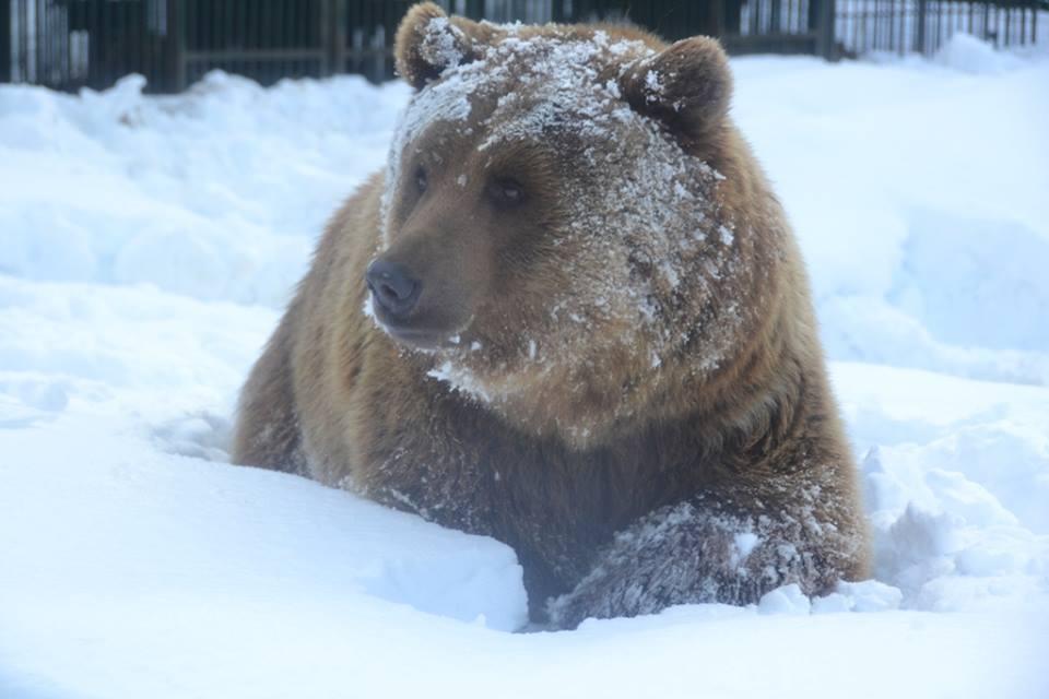 """Ведмеді ребілітаційного центру в НПП """"Синевир"""" вже місяць сплять (ФОТО) @ Закарпаття онлайн"""