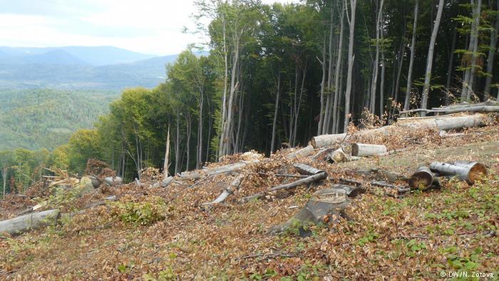 На Закарпатті знищують букові праліси, внесені до списку світової спадщини ЮНЕСКО