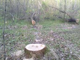 За завдану шкоду лісу на майже 100 тис грн 29 посадовців Рахівського лісгоспу оштрафовано на понад 3 тис грн