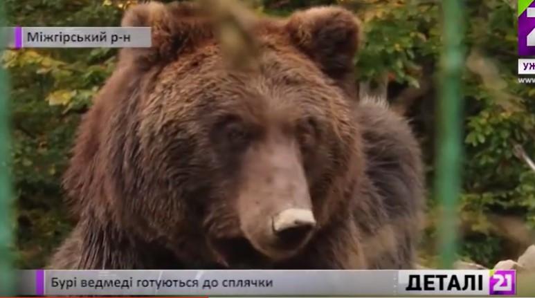 Бурі ведмеді готуються до сплячки.