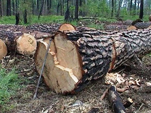 На Тячівщині затримали селянина, що зрізав 5 дубів