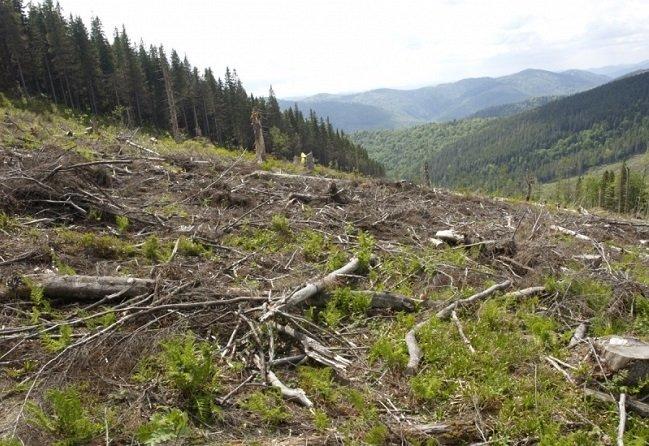 Тотальну крадіжку лісу на Закарпатті показали на всю Україну