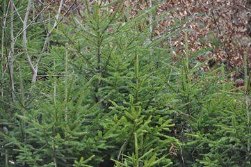 В лісгоспах Закарпаття виявлено тільки 115 незаконних рубок, і лише 9 майстрів лісу звільнено