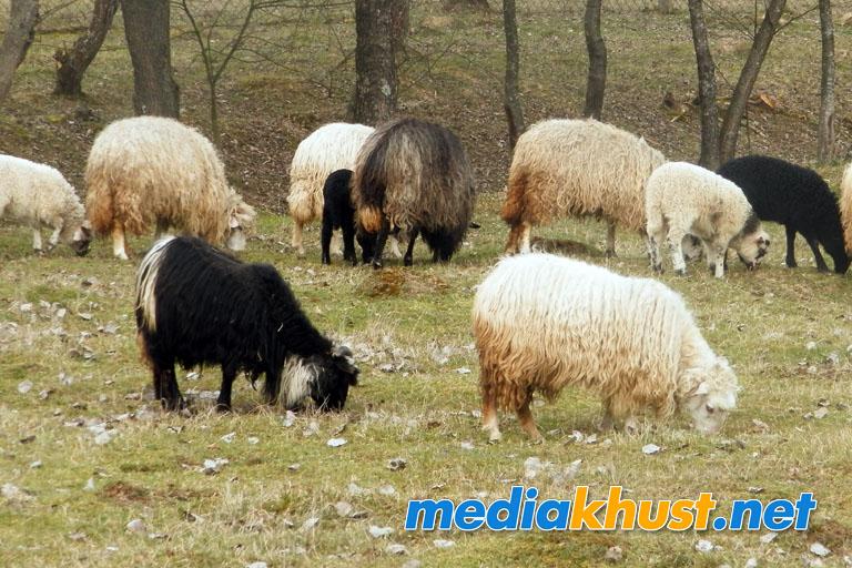 На Хустщині також провели овець на полонину