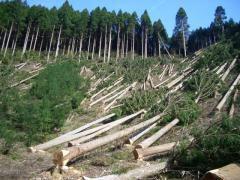 Щодо лісівників, які допустили незаконну рубку дерев на Закарпатті, порушено кримінальне провадження