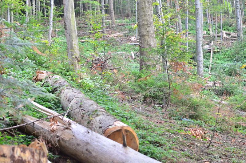 В Хусті розпочато кримінальне провадження щодо незаконної вирубки молодих та здорових дерев