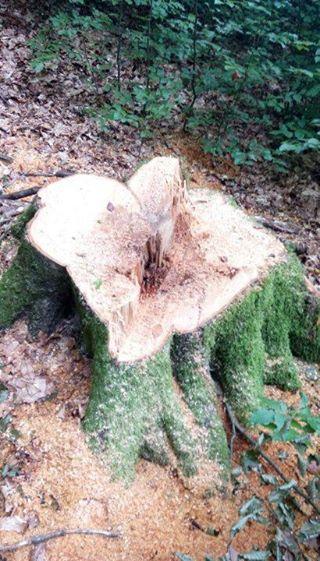 Незаконна порубка буку в заборонений період на Іршавщині обернулася для посадовців лісгоспу