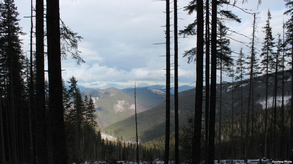 """""""Лісова варта"""" у Карпатських лісах: як активісти слідкують за порушенням вирубок"""