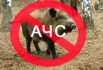 Виявили труп дикого кабана, зараженого африканською чумою свиней