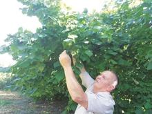 На Ужгородщині чоловік виростив цілий сад фундука