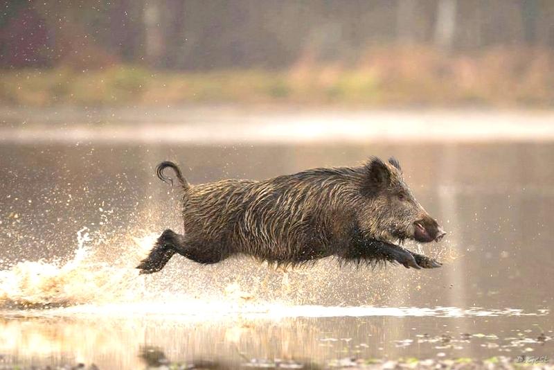 На Закарпатті почали відстріл диких кабанів в мисливських угіддях, де виявлені вогнища африканської чуми свиней