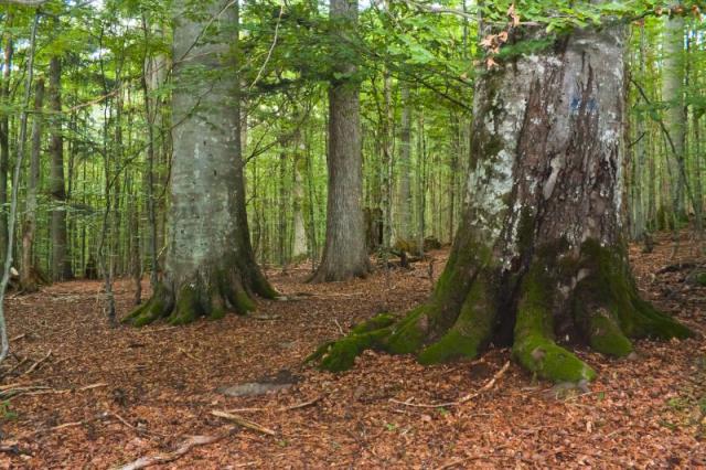 Держлісагентство на прохання WWF призупинило вирубки в букових пралісах Закарпаття