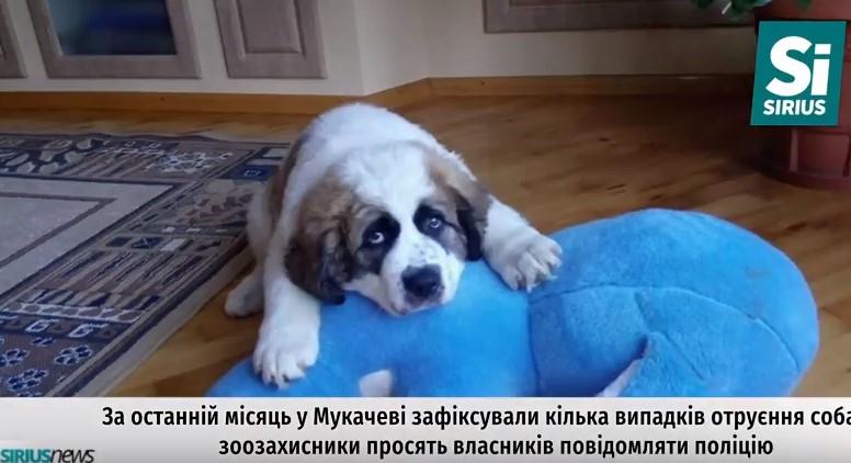 У Мукачеві знову фіксують випадки отруєння собак (ВІДЕО)