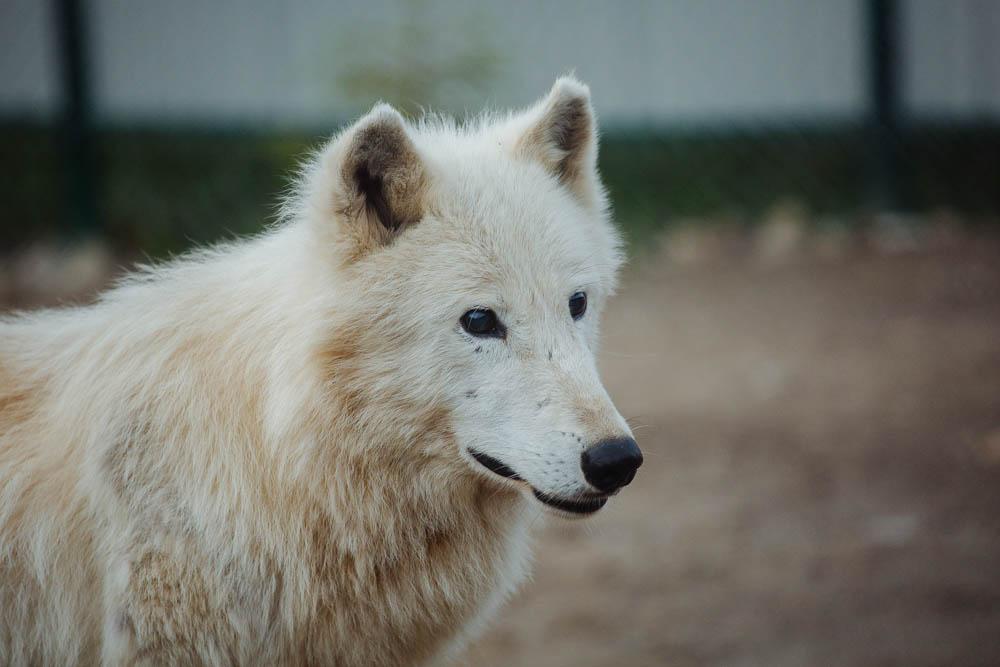 Міні-звіринець з хижими вовками