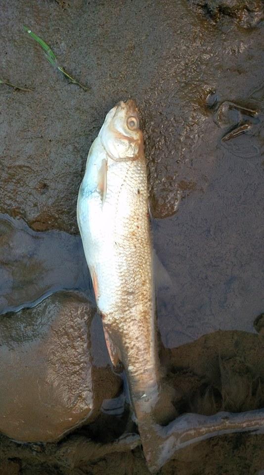 Закарпатці повідомляють про масову загибель риби в Латориці (ФОТО, ВІДЕО)