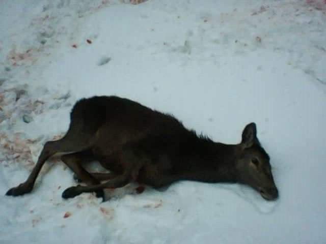 На Рахівщині VIP-браконьєри постріляли молодняк благородного оленя – депутат