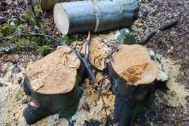 Із двох чоловіків, що зрубали на Рахівщині дуби й буки, стягнуть 227 тис грн за заподіяну шкоду