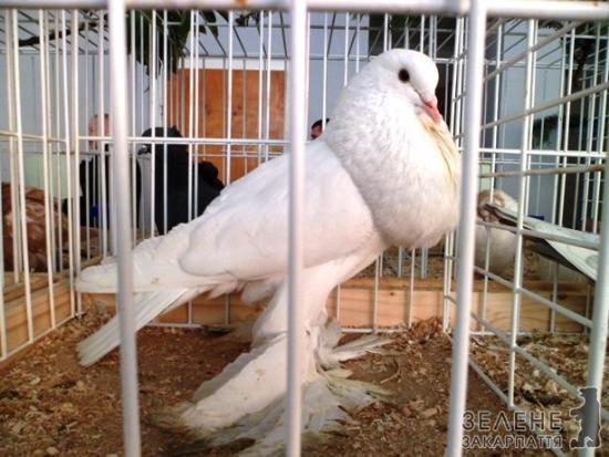 Голуби якубіни ціна фото фото 164-606