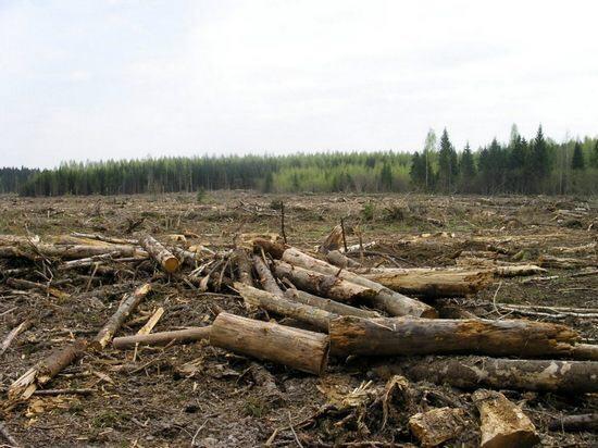 Чопські прикордонники дозволили словацьким підприємцям нарубати лісу у прикордонній смузі на 20 млн грн
