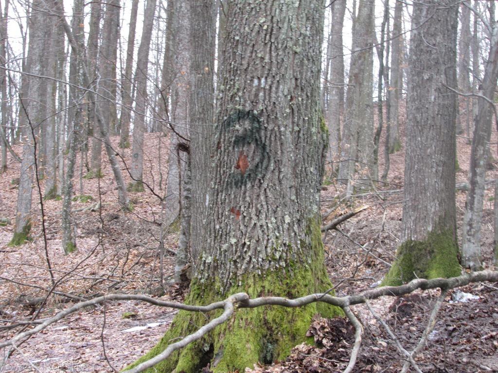 Головний лісівник Свалявщини вважає вибіркову вирубку кращих дубів і буків у Стройному