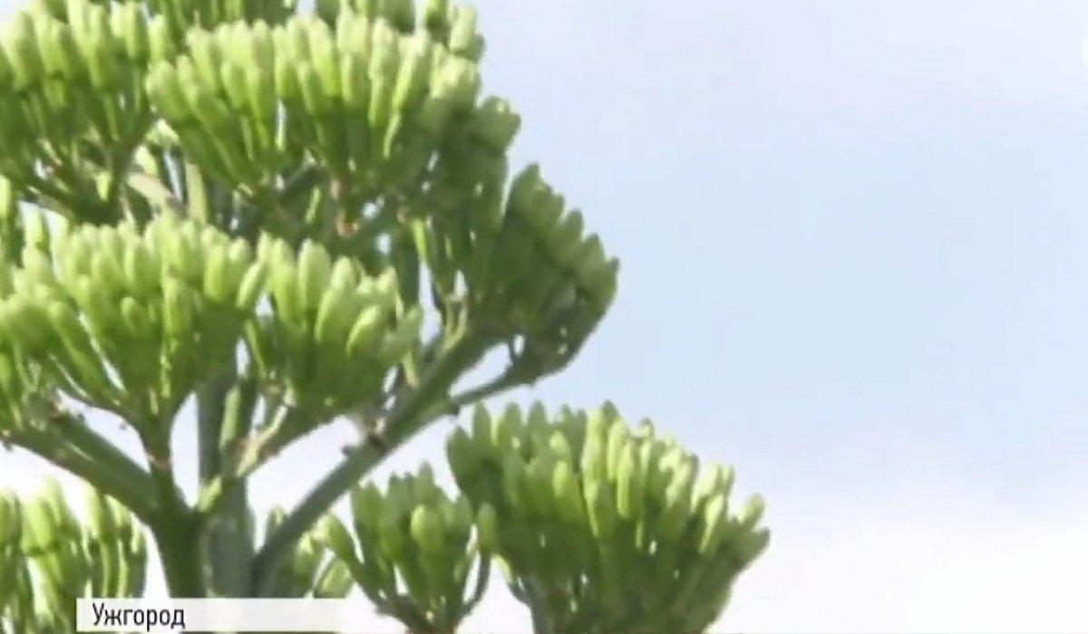 В Ужгороді у відкритому грунті 8-метровим квітконосом вперше розквітла агава