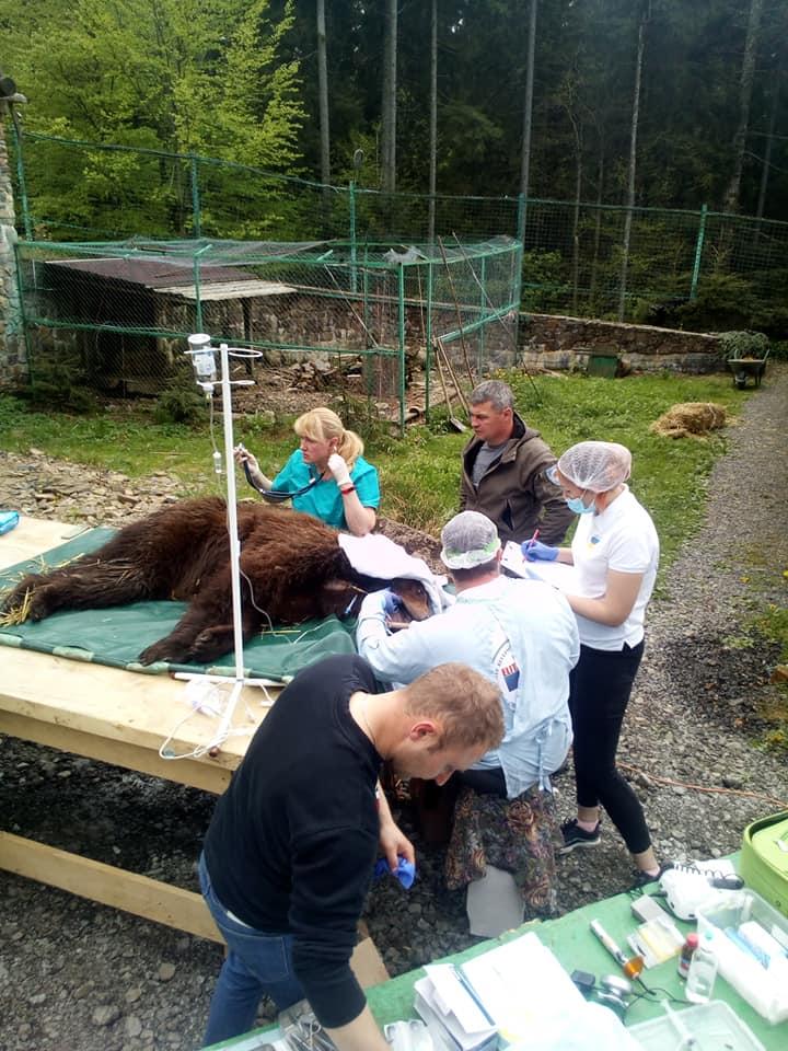 У реабілітаційному центрі бурих ведмедів на Закарпатті оглядали й лікували клишоногих