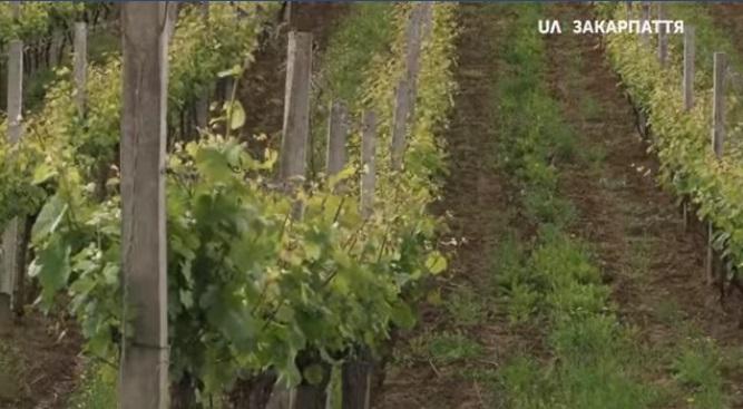 У Берегові відбувся семінар виноробів (ВІДЕО)